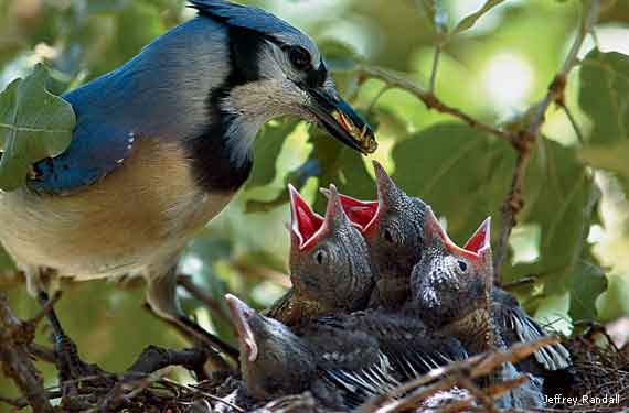 blue-jay-feeding-chicks-Jeffrey-Randall-570x375